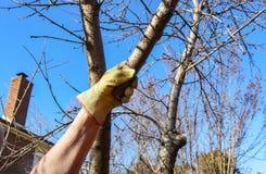 有工作手套的人在切开的掌握小树枝决定的伸手可及的距离 另一个分支最近被修剪了 免版税图库摄影