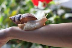 有巨人Achatina蜗牛的女性手 健康和皮肤回复 库存图片