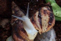 有巨人Achatina蜗牛的女性手 健康和皮肤回复 图库摄影