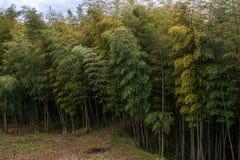 有巨大的竹树的竹森林 库存照片