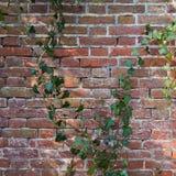 有常春藤植物的老墙壁 库存照片