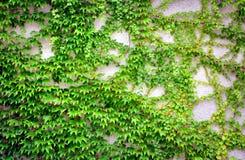 有常春藤的墙壁 免版税库存照片