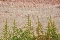 有常春藤的墙壁 库存图片