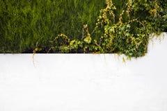 有常春藤的白色墙壁  免版税库存图片