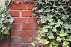 有常春藤的砖墙 库存照片