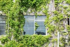 有常春藤的窗口快门在房子墙壁上 免版税库存图片
