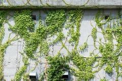 有常春藤的窗口快门在房子墙壁上 免版税库存照片