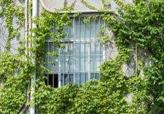 有常春藤的窗口快门在房子墙壁上 库存图片