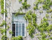 有常春藤的窗口快门在老墙壁上 免版税图库摄影