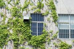 有常春藤的窗口快门在老墙壁上 库存照片
