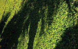 有常春藤的, Isola Madre, Lago Maggiore墙壁 免版税库存照片