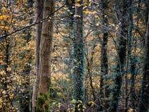 有常春藤覆盖的树和吠声纹理的秋天森林地 库存图片