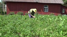 有帽子采撷科罗拉多甲虫幼虫的花匠妇女从土豆植物 4K 股票录像