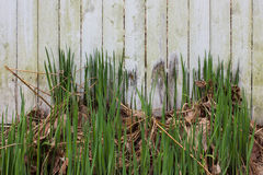 有干和新鲜的草的脏的被风化的白色篱芭 免版税库存图片
