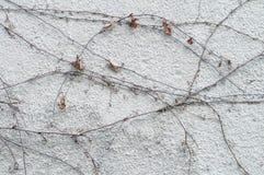 有干燥常春藤植物的白色土气墙壁 免版税库存图片
