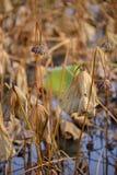 有干燥莲花的池塘 库存图片