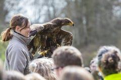 有干草原老鹰的鸟经理 免版税库存照片