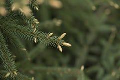 有年轻射击的绿色云杉的枝杈 免版税库存照片