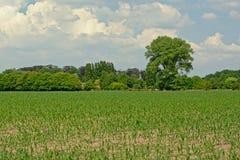 有年轻玉米和树的春天农田 库存照片