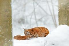 有年轻,狂放的猫科的母亲 天猫座在自然野生生物栖所 两猫,树雪 在雪森林欧亚天猫座的天猫座在wi 免版税库存图片