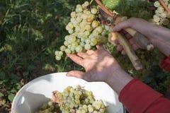 有庭院的农夫剪削减一束大葡萄在晴朗的谷的 在葡萄园的工作在收获期间 库存图片