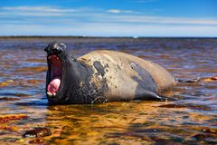 有开放枪口的海象 与开放嘴的大海洋动物 在海水深蓝天空,福克兰群岛的海象 图库摄影