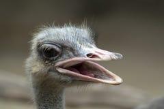 有开放额嘴的共同的驼鸟头 免版税库存照片