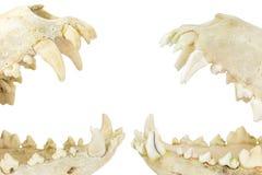 有开放嘴的两块狗头骨 免版税库存图片