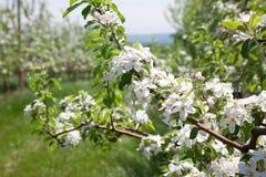 有开花树的一个果树园 免版税库存照片