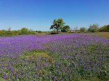 有开花的会开蓝色钟形花的草的晴朗的草甸 免版税库存图片