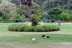 有开花的花和鸟的悉尼百年公园 免版税库存图片