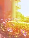 有开花的雏菊的晴朗的阳台 免版税库存照片
