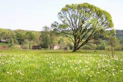 有开花的黄水仙的草甸和在距离的一棵大树 免版税库存照片