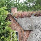 有开花的houseleek的, Sempervivum tectorum茅屋顶 免版税库存照片