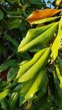 有强光的新鲜的绿色和黄色常青叶子在阳光 免版税库存照片