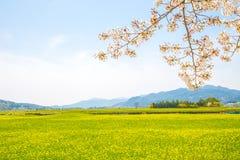 有强奸花的樱花在春天 免版税库存照片