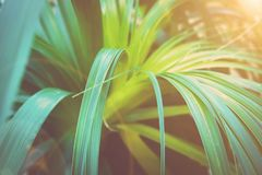 有形成玫瑰华饰的长的狭窄的摇晃的叶子的美丽的热带植物 植物的叶子背景 充满活力的深颜色 晒裂 免版税库存图片
