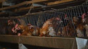 有很多鸟的家禽场在笼子 自动电源 生产自动化的概念 股票录像