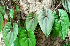 有心形的样式小组的五颜六色的自然常春藤绿色叶子在树附近树干  库存图片