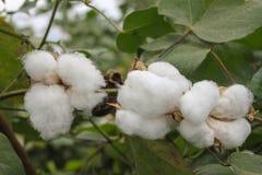 有成熟蒴的棉树准备好收获,与绿色叶子的有机棉花 免版税库存照片