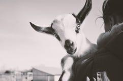 有户外山羊的农场女孩 库存图片