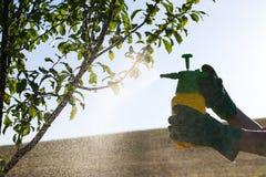 有手套喷洒的妇女果树叶子反对植物病和虫 免版税库存图片
