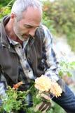 有手套的人在照顾玫瑰的庭院里 库存图片