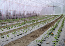 有扶养早期的蕃茄胡椒和其他菜幼木的塑料胶膜的温室 库存图片