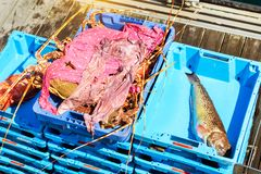有抓住海纤巧龙虾的布拉内斯容器 免版税图库摄影
