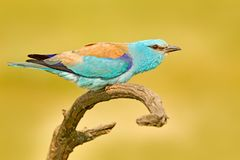 有抓住的路辗本质上 鸟的监视人在匈牙利 好的颜色浅兰的鸟欧洲路辗坐分支以开放 免版税库存照片