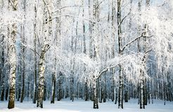 有报道的雪分支的桦树森林 免版税图库摄影