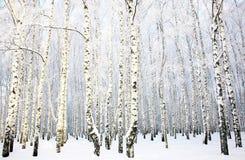 有被盖的雪的美丽的桦树树丛 免版税库存照片