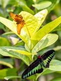 有拉贾的Brooke和巡洋舰蝴蝶庭院 库存图片