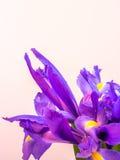 有拷贝空间的紫色和黄色虹膜在白色 库存图片